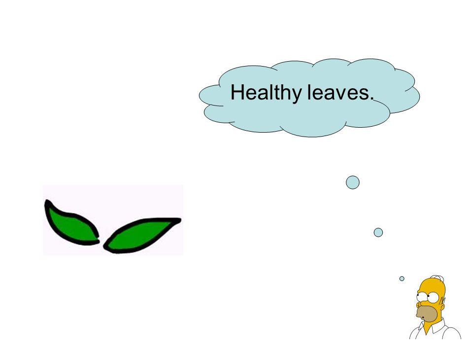 Healthy leaves.