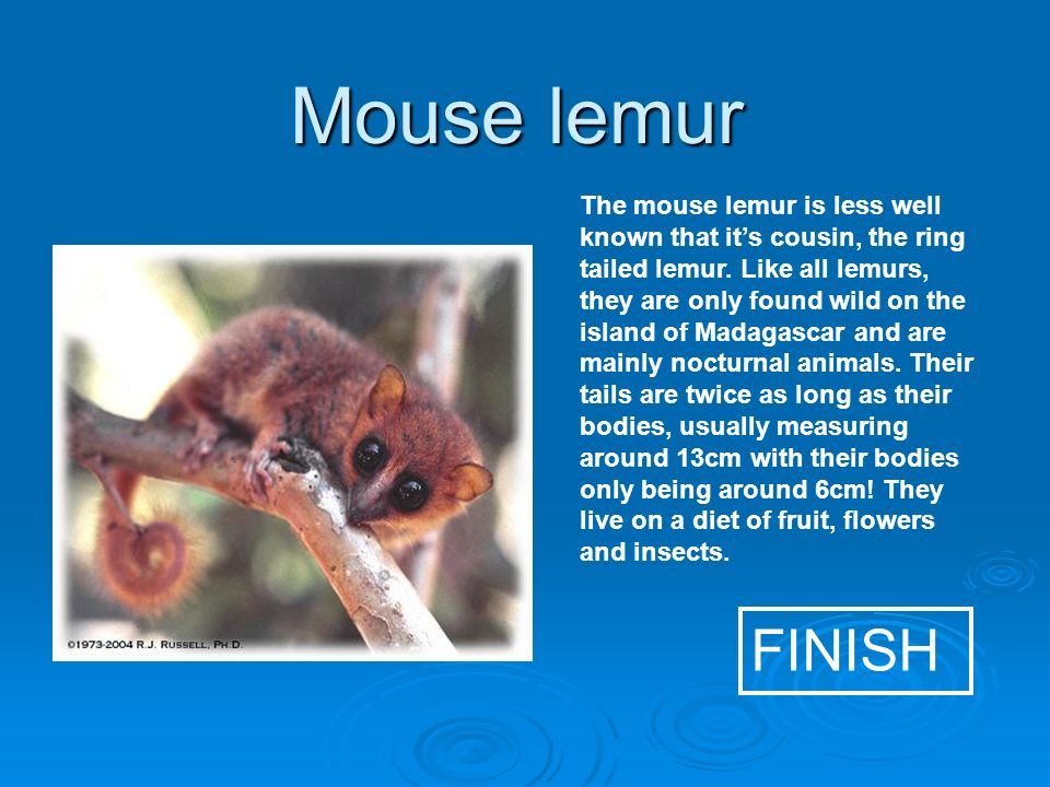 Mouse lemur FINISH The mouse lemur is less well known that its cousin, the ring tailed lemur.