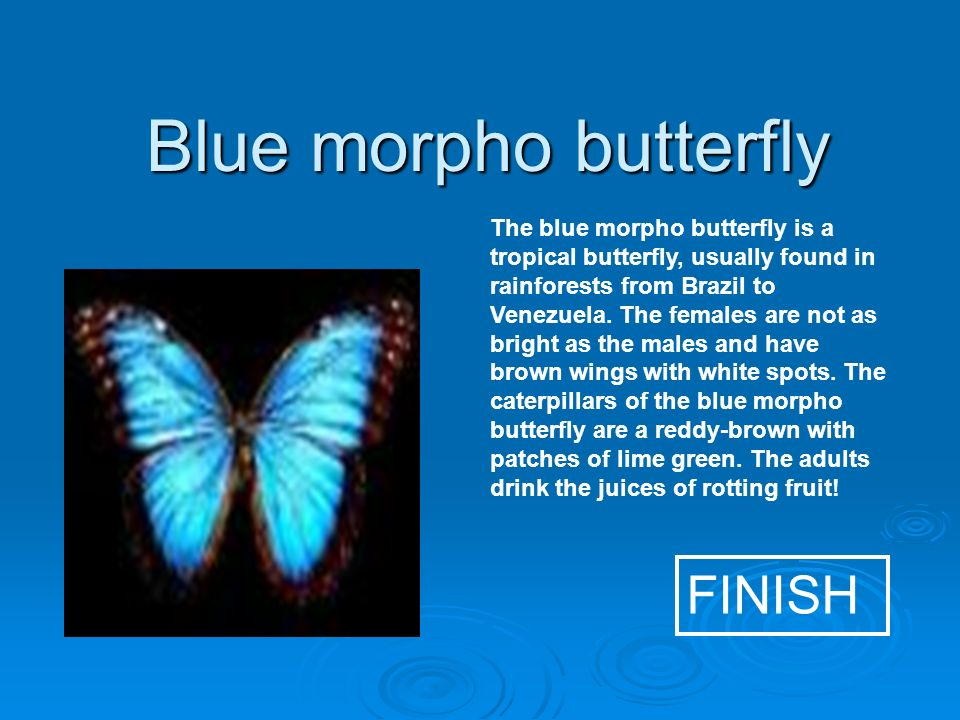 Blue morpho butterfly FINISH The blue morpho butterfly is a tropical butterfly, usually found in rainforests from Brazil to Venezuela.