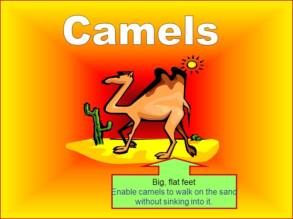 Enable camels to walk on the sand without sinking into it.