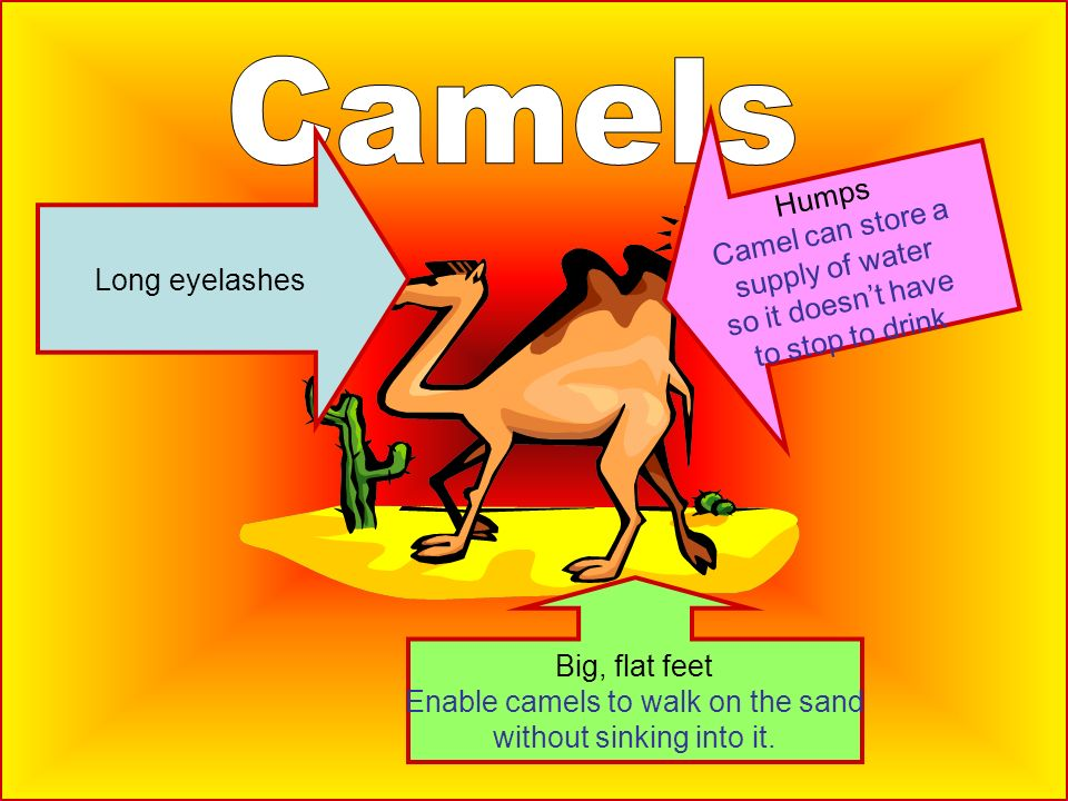 Big, flat feet Enable camels to walk on the sand without sinking into it. Humps Camel can store a supply of water so it doesnt have to stop to drink L