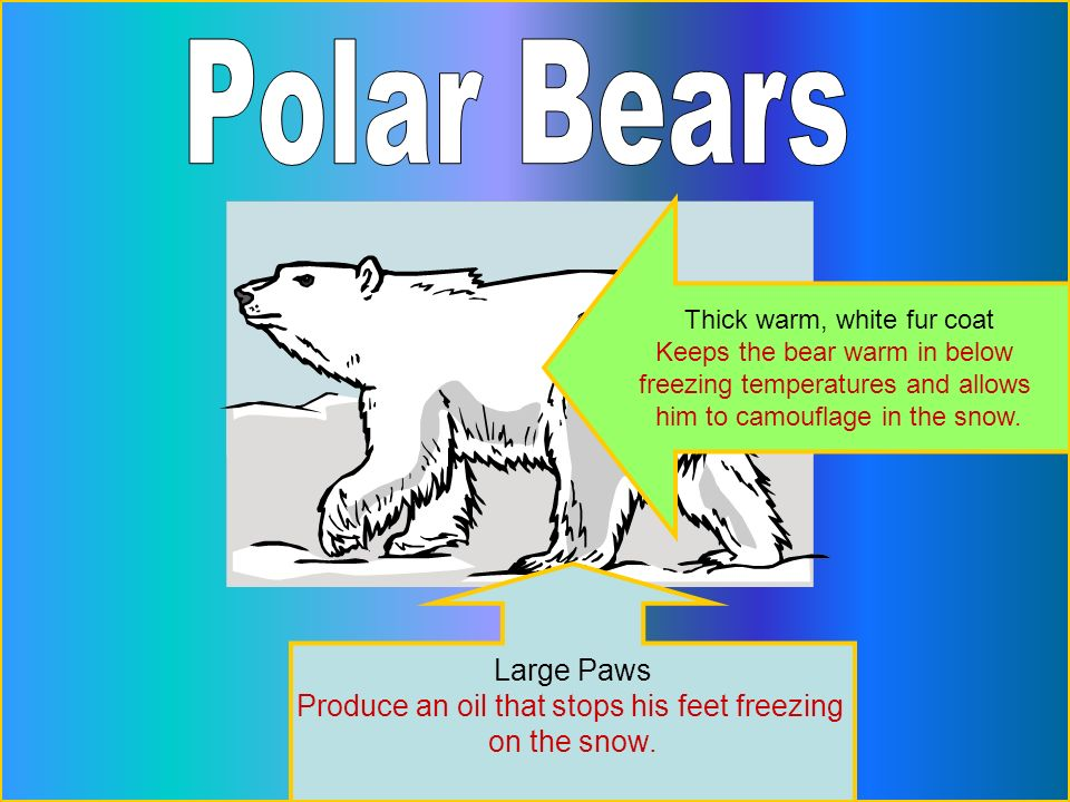 Thick warm, white fur coat Keeps the bear warm in below freezing temperatures and allows him to camouflage in the snow. Large Paws Produce an oil that