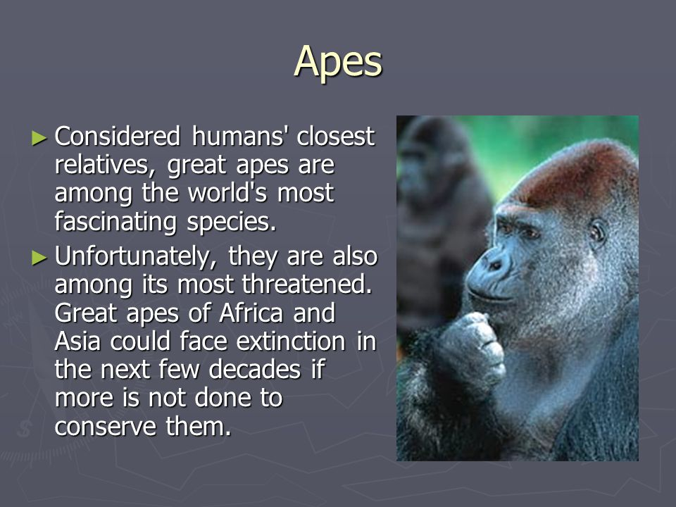 Apes Considered humans' closest relatives, great apes are among the world's most fascinating species. Considered humans' closest relatives, great apes