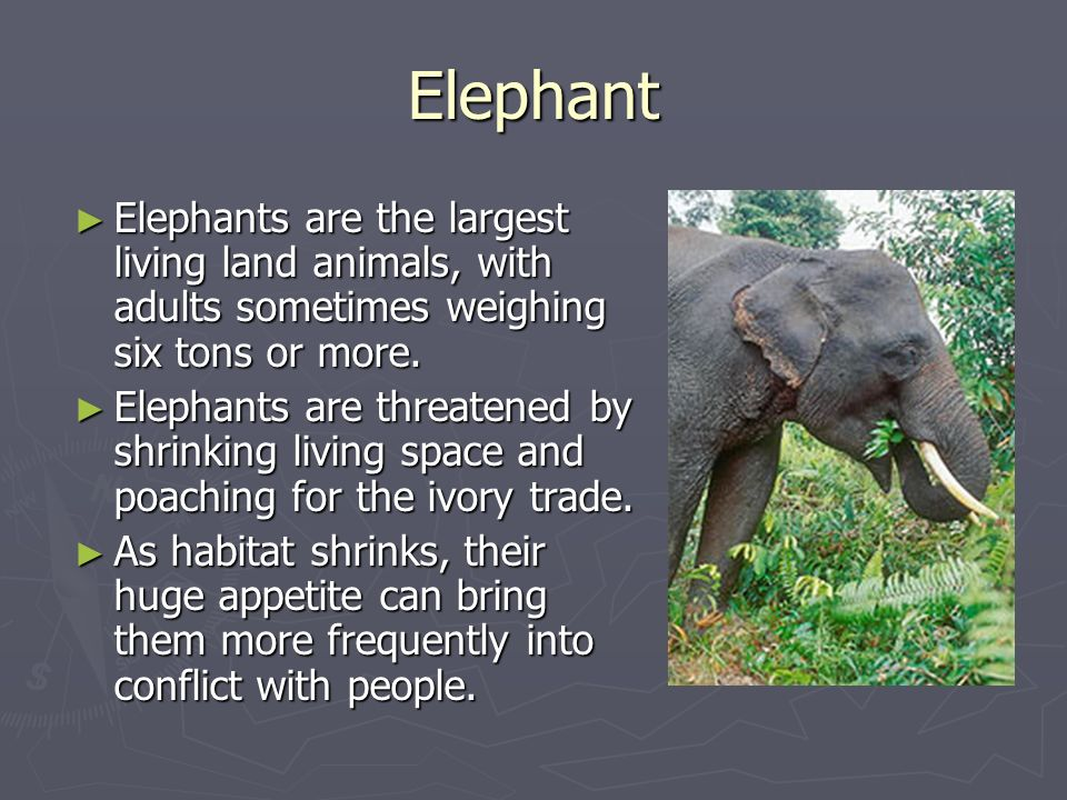 Elephant Elephants are the largest living land animals, with adults sometimes weighing six tons or more. Elephants are the largest living land animals