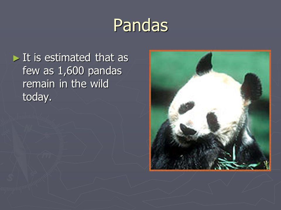 Pandas It is estimated that as few as 1,600 pandas remain in the wild today. It is estimated that as few as 1,600 pandas remain in the wild today.