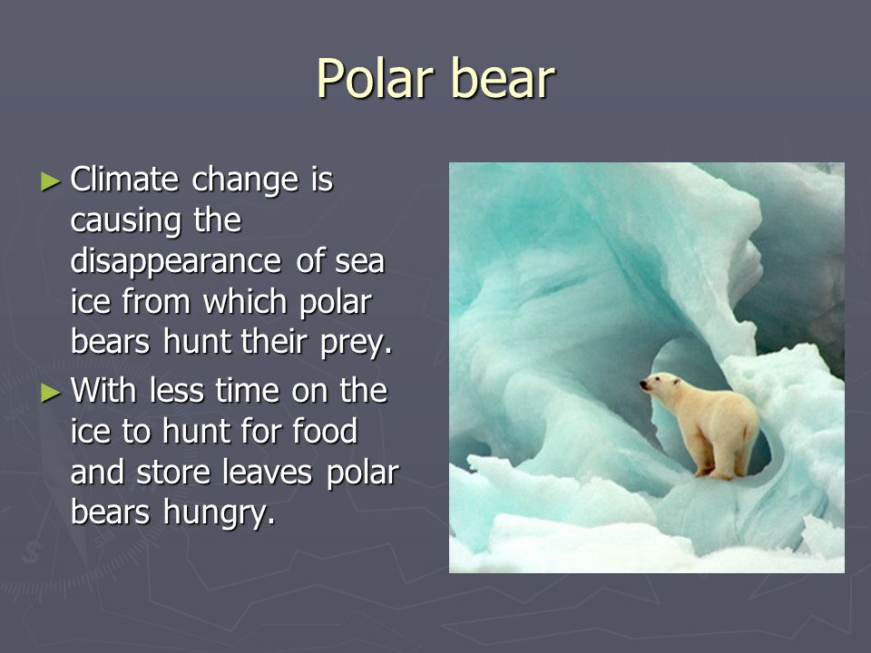 Polar bear Climate change is causing the disappearance of sea ice from which polar bears hunt their prey. Climate change is causing the disappearance