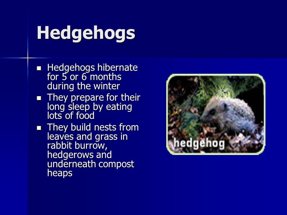Hedgehogs Hedgehogs hibernate for 5 or 6 months during the winter Hedgehogs hibernate for 5 or 6 months during the winter They prepare for their long