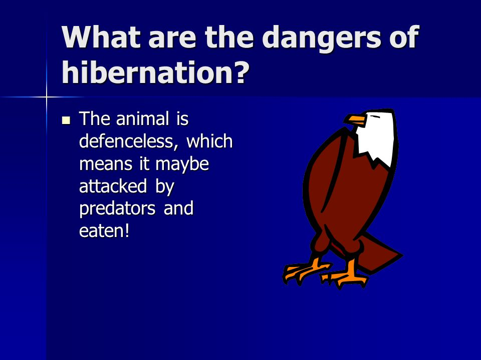 What are the dangers of hibernation? The animal is defenceless, which means it maybe attacked by predators and eaten! The animal is defenceless, which