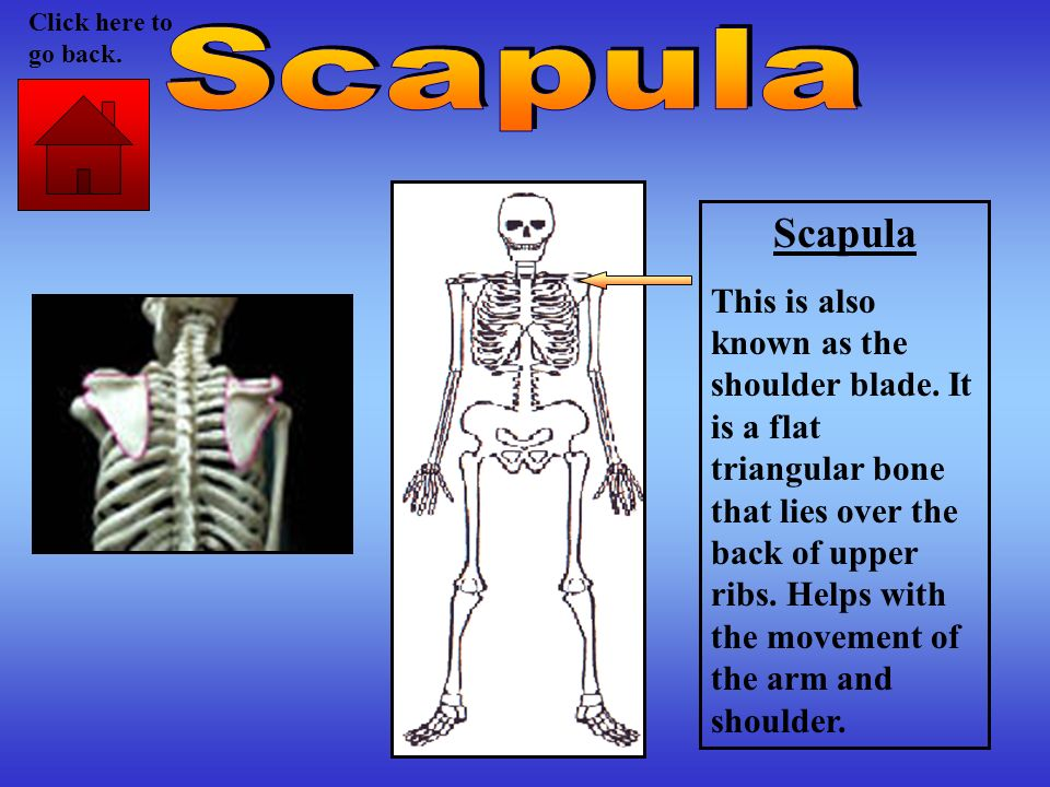 Scapula This is also known as the shoulder blade. It is a flat triangular bone that lies over the back of upper ribs. Helps with the movement of the a