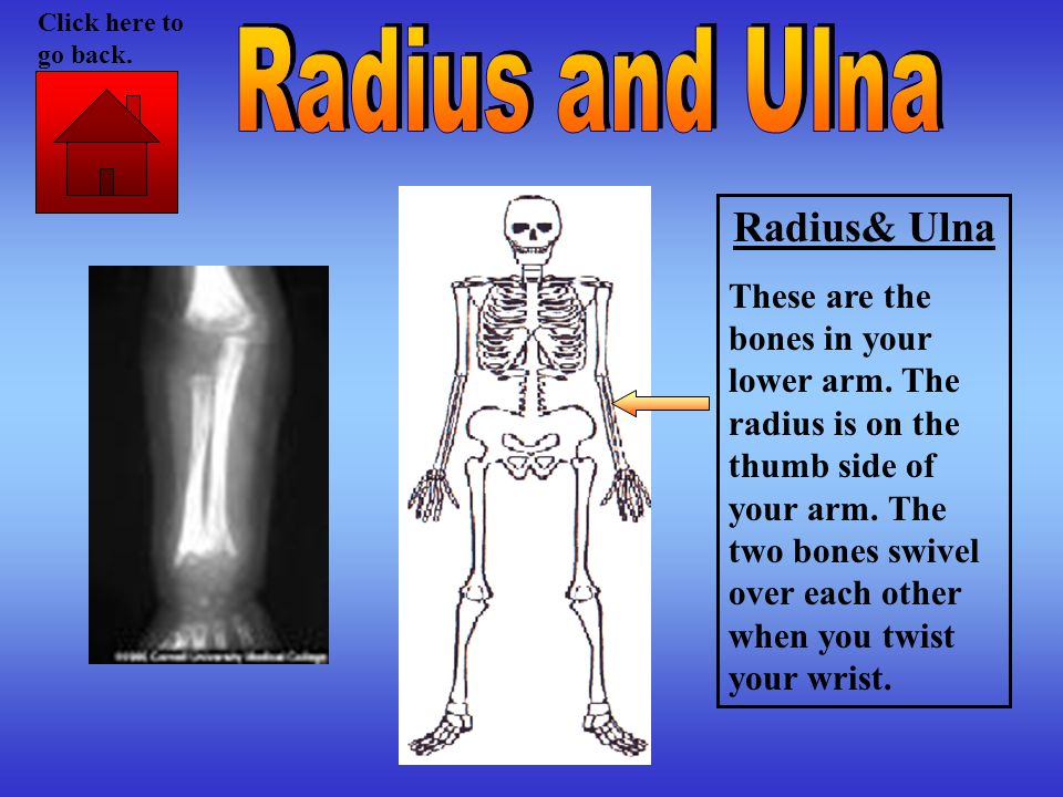 Radius& Ulna These are the bones in your lower arm. The radius is on the thumb side of your arm. The two bones swivel over each other when you twist y