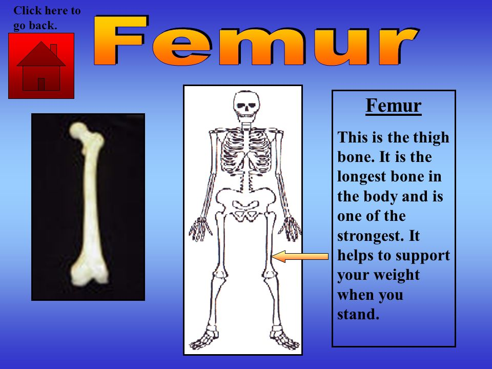 Femur This is the thigh bone. It is the longest bone in the body and is one of the strongest. It helps to support your weight when you stand. Click he