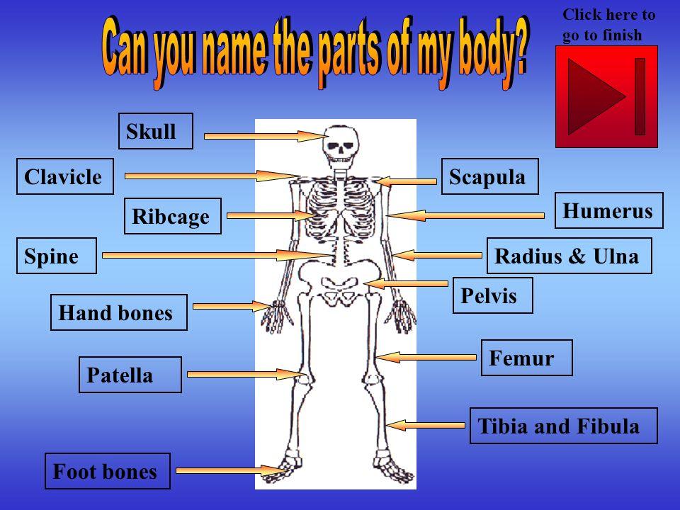 Skull Clavicle Ribcage Spine Hand bones Foot bones Tibia and Fibula Femur Radius & Ulna Pelvis Humerus Scapula Patella Click here to go to finish