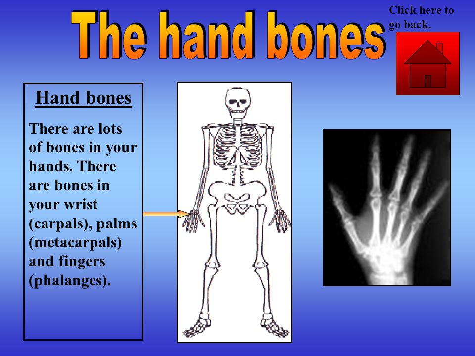 Hand bones There are lots of bones in your hands. There are bones in your wrist (carpals), palms (metacarpals) and fingers (phalanges). Click here to