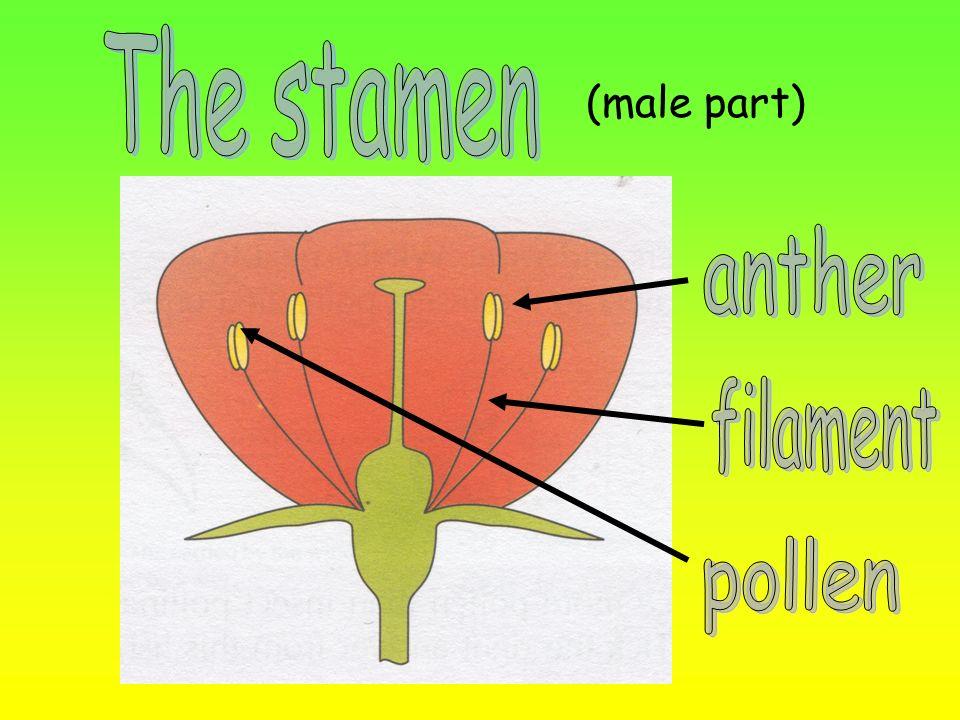 (male part)