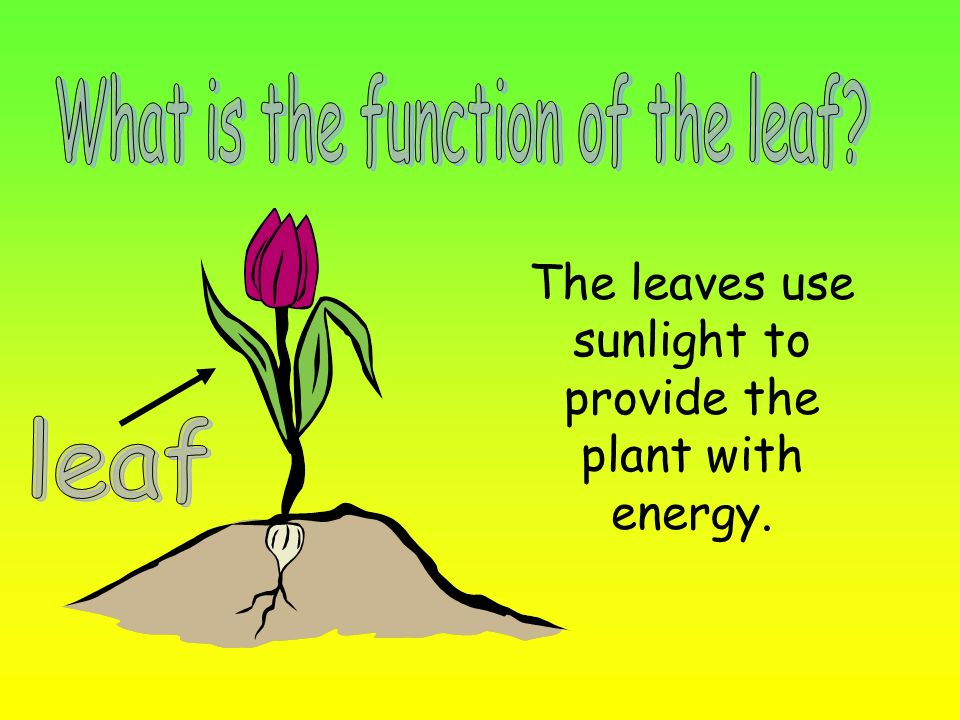 The leaves use sunlight to provide the plant with energy.