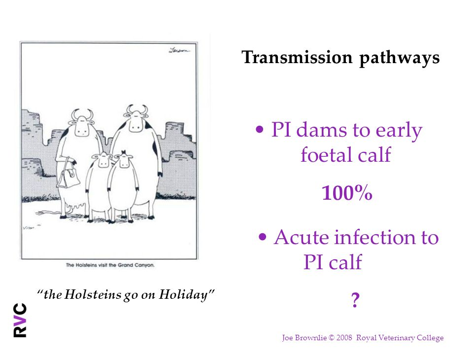the Holsteins go on Holiday Transmission pathways PI dams to early foetal calf 100% Acute infection to PI calf ? Joe Brownlie © 2008 Royal Veterinary