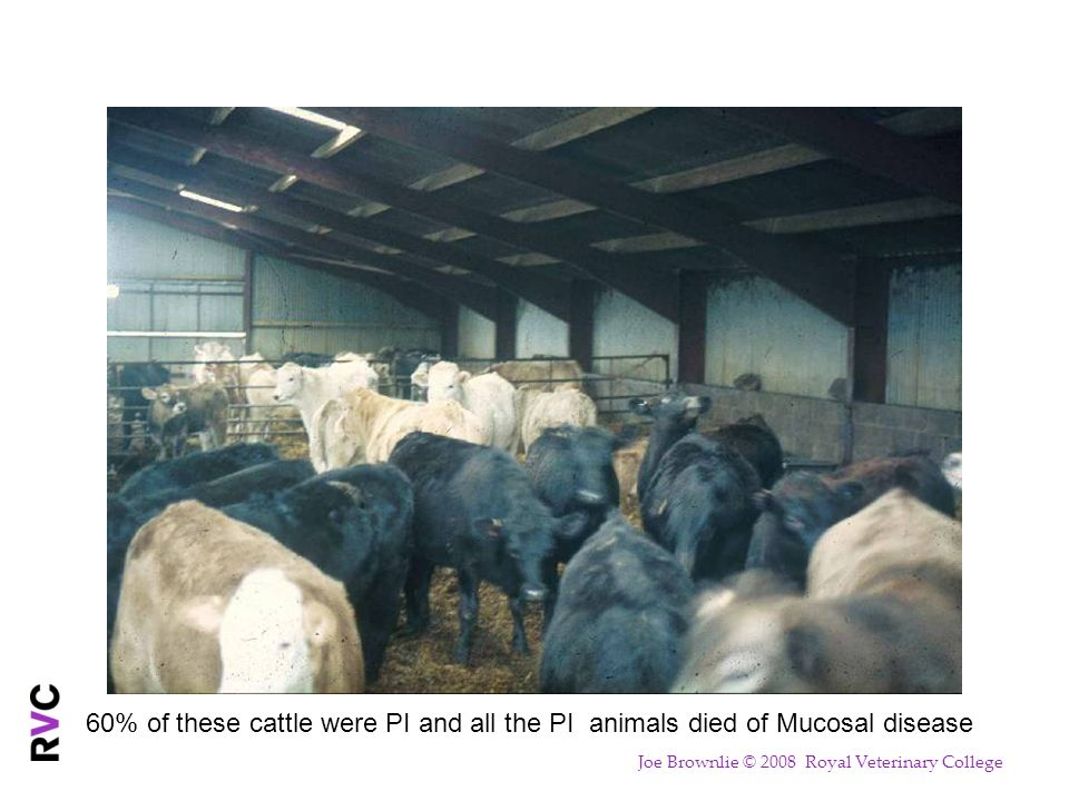 60% of these cattle were PI and all the PI animals died of Mucosal disease Joe Brownlie © 2008 Royal Veterinary College
