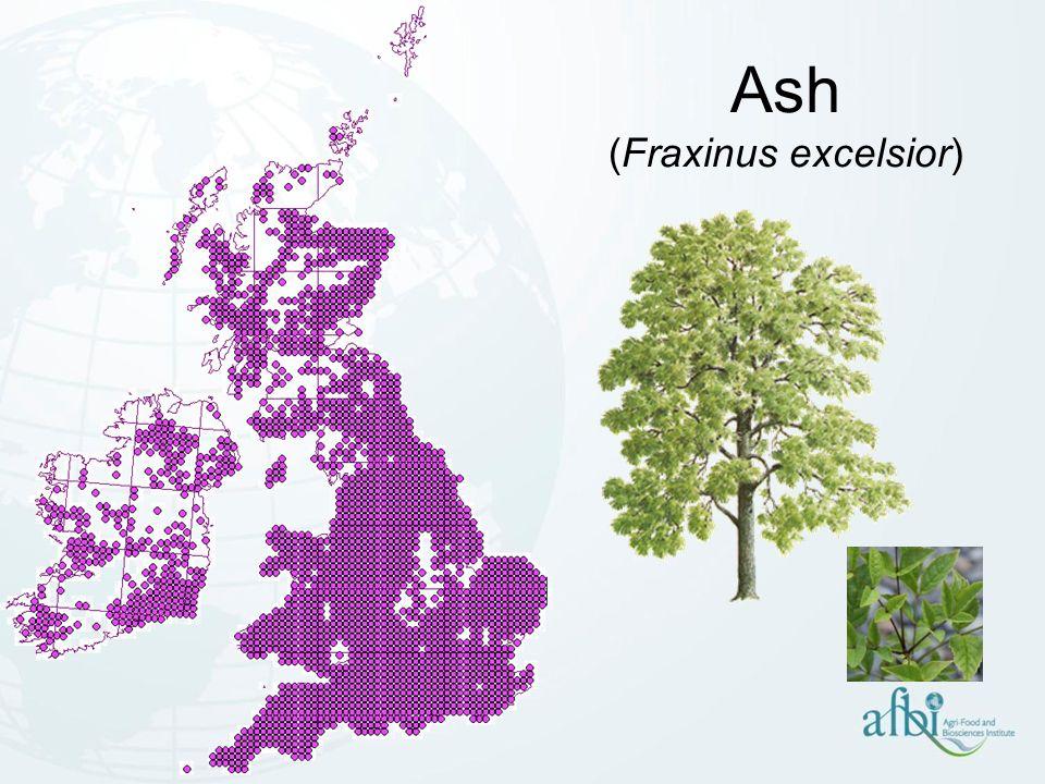 Chalara dieback of ash Chalara fraxinea (asexual) Anamorph of new species called: Hymenoscyphus pseudoalbidus (sexual)