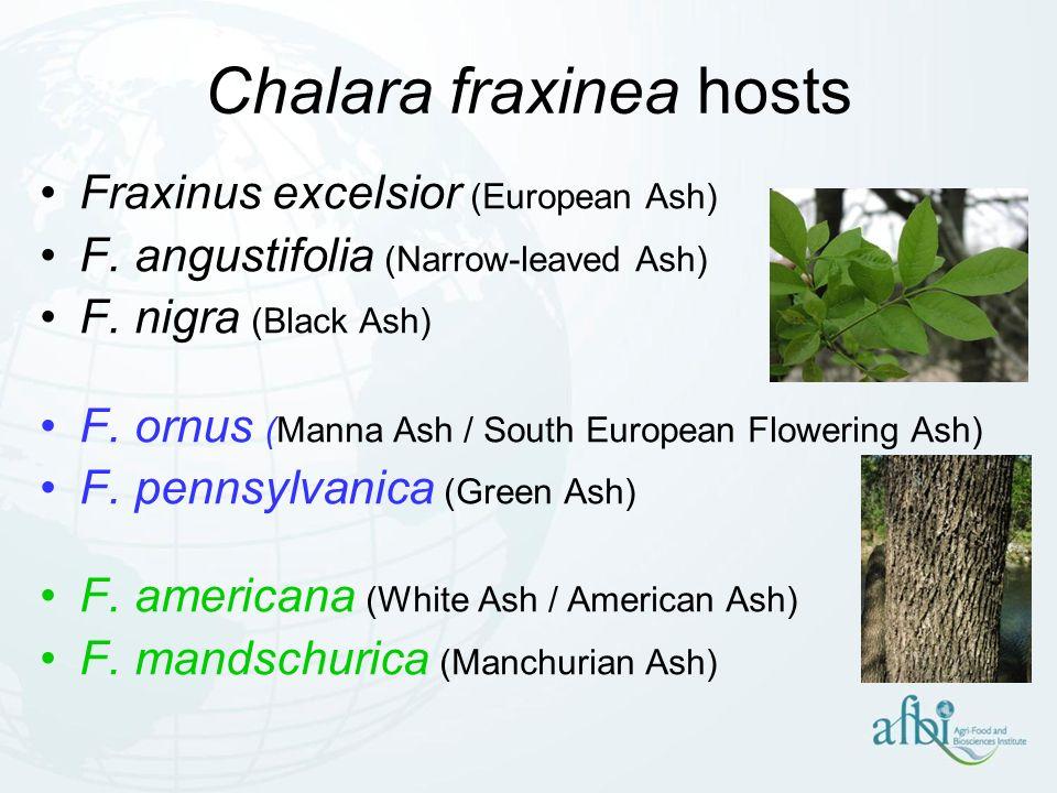 Chalara fraxinea hosts Fraxinus excelsior (European Ash) F. angustifolia (Narrow-leaved Ash) F. nigra (Black Ash) F. ornus (Manna Ash / South European