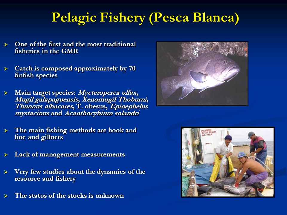 Pelagic Fishery (Pesca Blanca) One of the first and the most traditional fisheries in the GMR One of the first and the most traditional fisheries in t