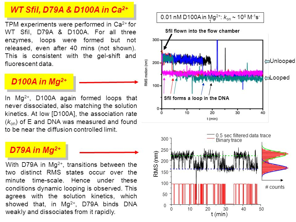 SfiI flown into the flow chamber SfiI forms a loop in the DNA RMS (nm) t (min) 0.5 sec filtered data trace Binary trace # counts TPM experiments were performed in Ca 2+ for WT SfiI, D79A & D100A.