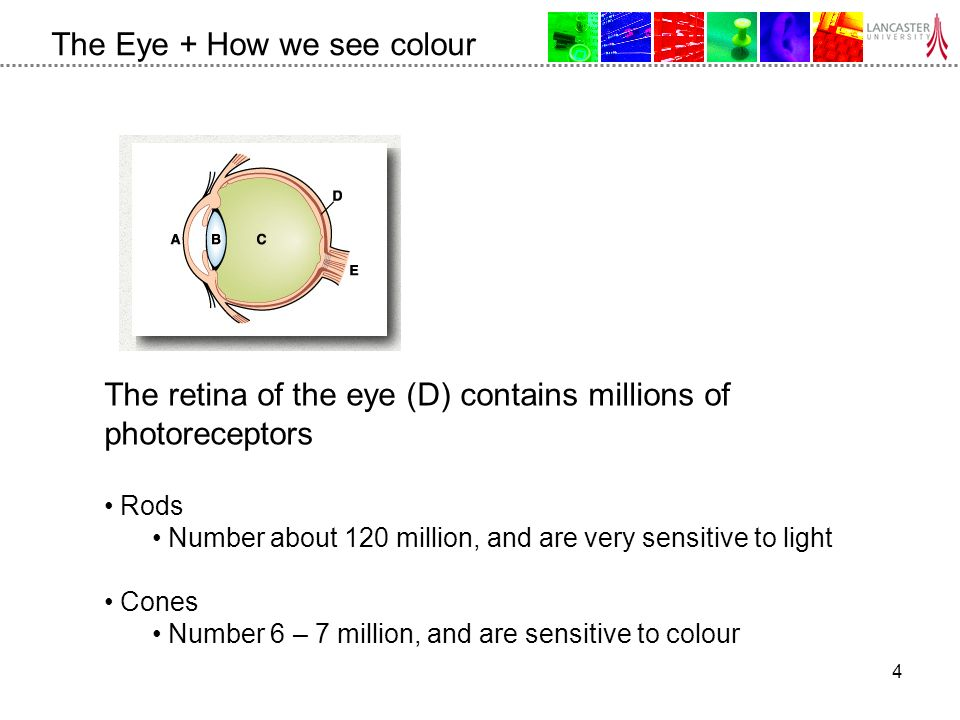 4 The Eye + How we see colour The retina of the eye (D) contains millions of photoreceptors Rods Number about 120 million, and are very sensitive to light Cones Number 6 – 7 million, and are sensitive to colour