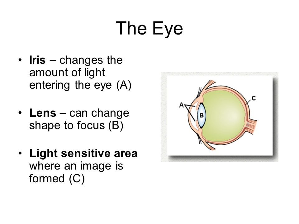 The Eye Iris – changes the amount of light entering the eye (A) Lens – can change shape to focus (B) Light sensitive area where an image is formed (C)
