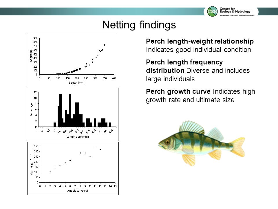 Perch length-weight relationship Indicates good individual condition Perch length frequency distribution Diverse and includes large individuals Perch growth curve Indicates high growth rate and ultimate size Netting findings