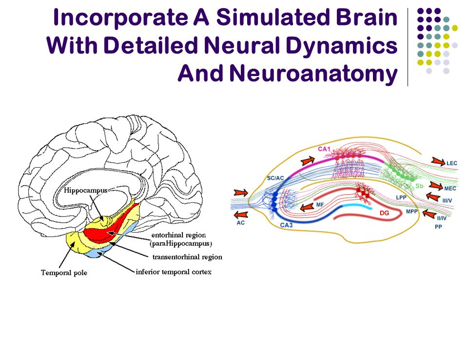 Incorporate A Simulated Brain With Detailed Neural Dynamics And Neuroanatomy
