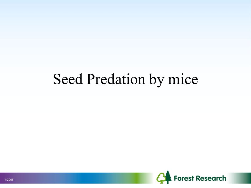 Seed Predation by mice