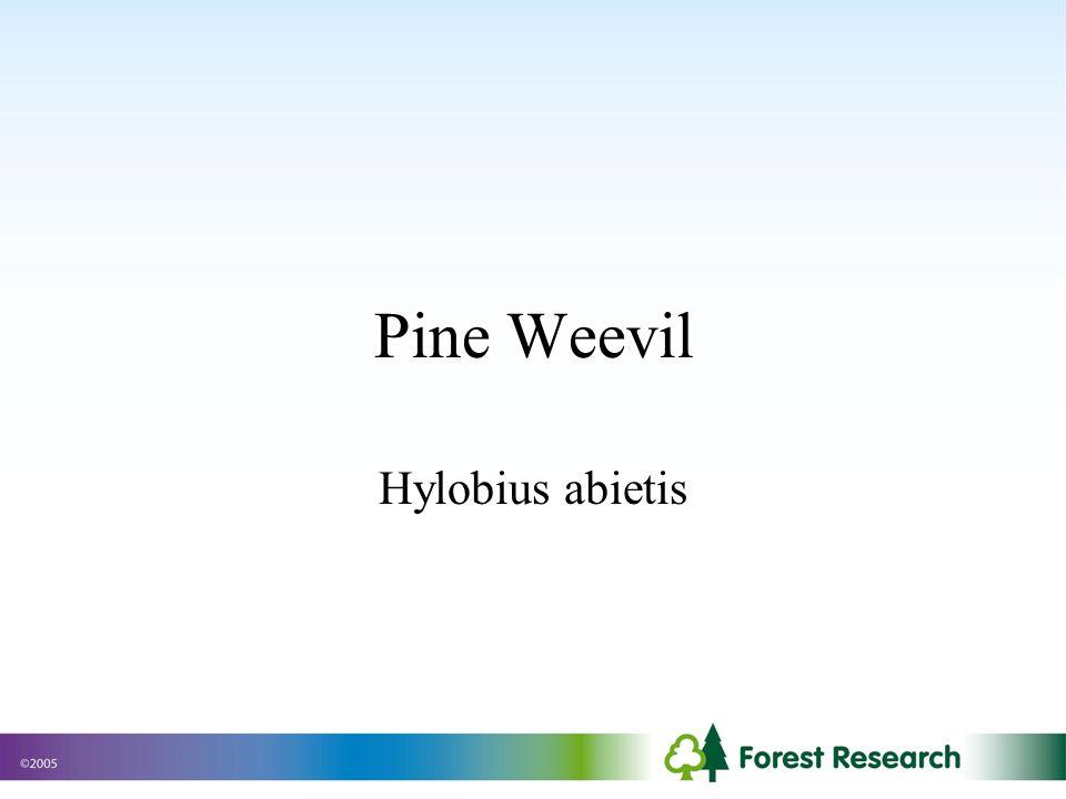 Pine Weevil Hylobius abietis