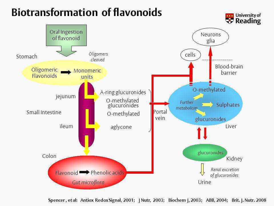 Biotransformation of flavonoids Oral Ingestion of flavonoid Monomeric units Oligomeric Flavonoids Stomach Small Intestine jejunum ileum Colon Liver Ki