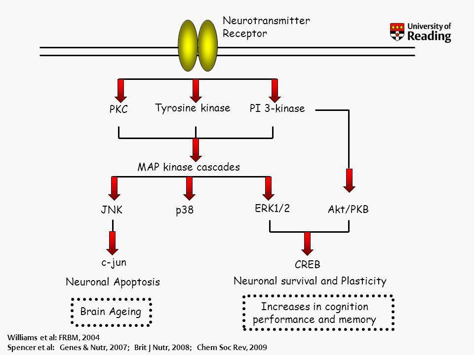 Neurotransmitter Receptor PKC PI 3-kinase Tyrosine kinase MAP kinase cascades JNKp38 ERK1/2 Akt/PKB Neuronal survival and Plasticity Neuronal Apoptosi
