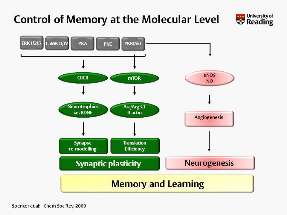 ERK1/2/5 CREB CaMK II/IVPKAPKB/Akt PKC Neurotrophins i.e. BDNF eNOS NO Angiogenesis mTOR Arc/Arg3.1 B-actin Synaptic plasticity Memory and Learning Ne