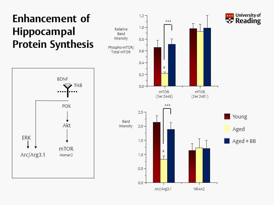 Enhancement of Hippocampal Protein Synthesis ERK PI3K TrkB mTOR Homer2 Arc/Arg3.1 Akt BDNF
