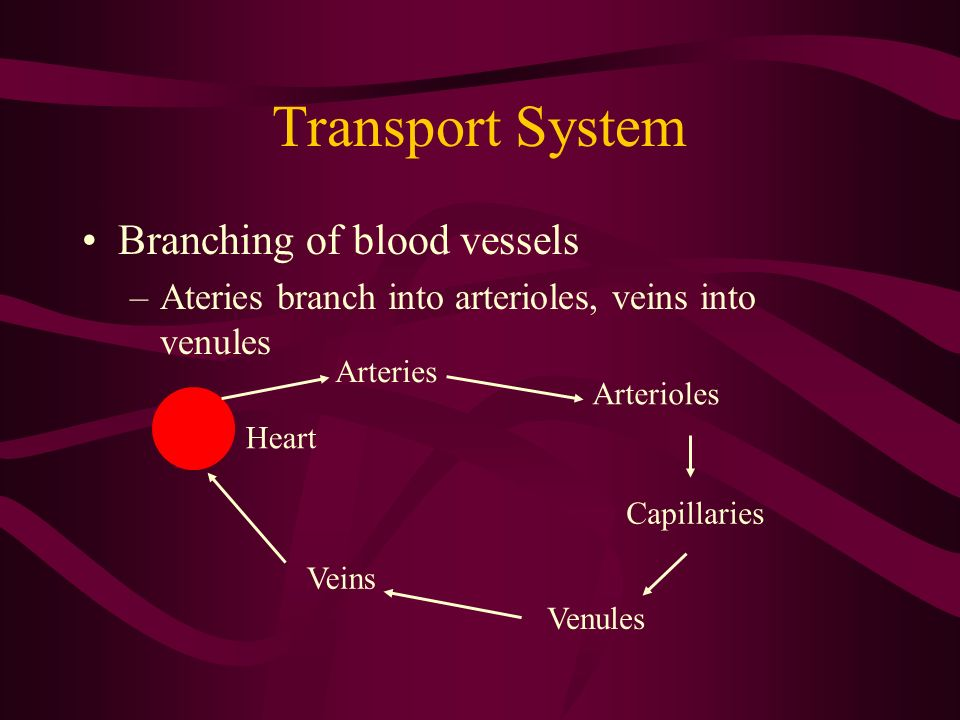 Transport System Branching of blood vessels –Ateries branch into arterioles, veins into venules Arteries Arterioles Capillaries Venules Veins Heart