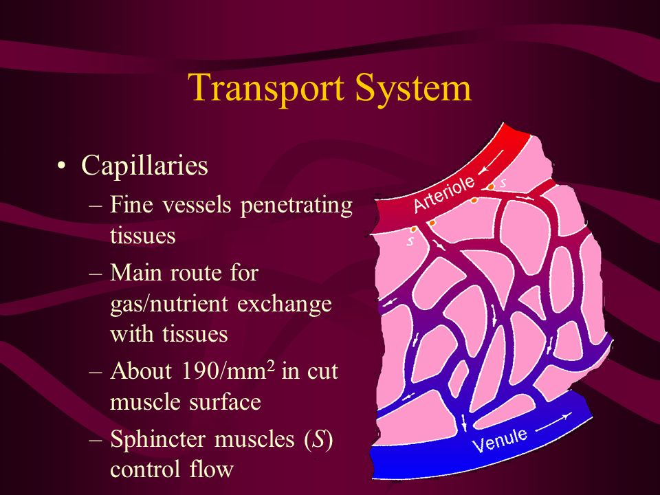 Transport System Capillaries –Fine vessels penetrating tissues –Main route for gas/nutrient exchange with tissues –About 190/mm 2 in cut muscle surfac