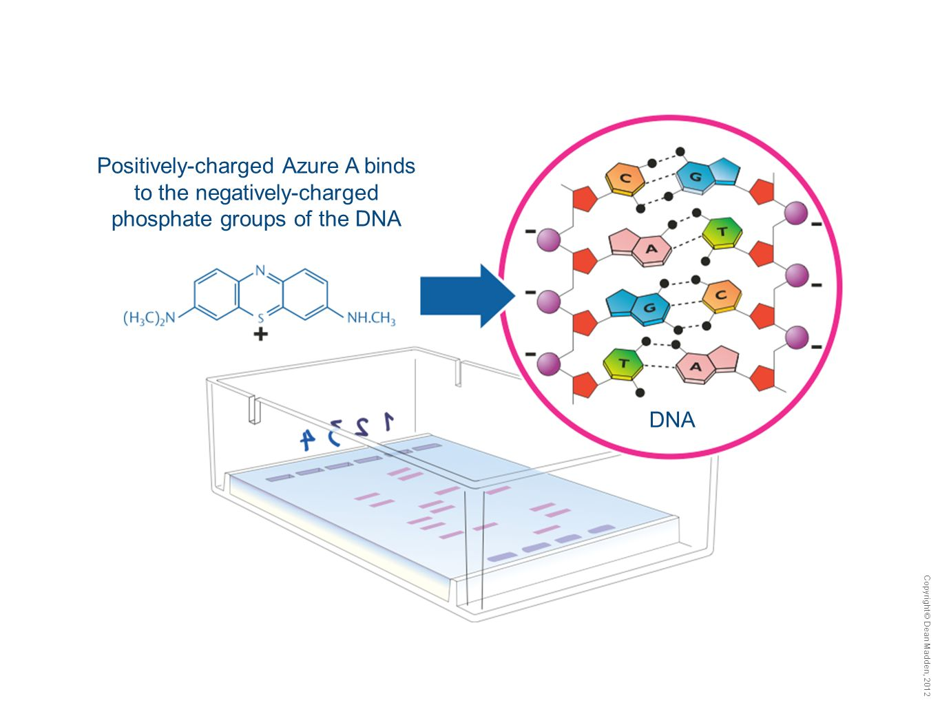 Copyright © Dean Madden, 2012 DNA Positively-charged Azure A binds to the negatively-charged phosphate groups of the DNA