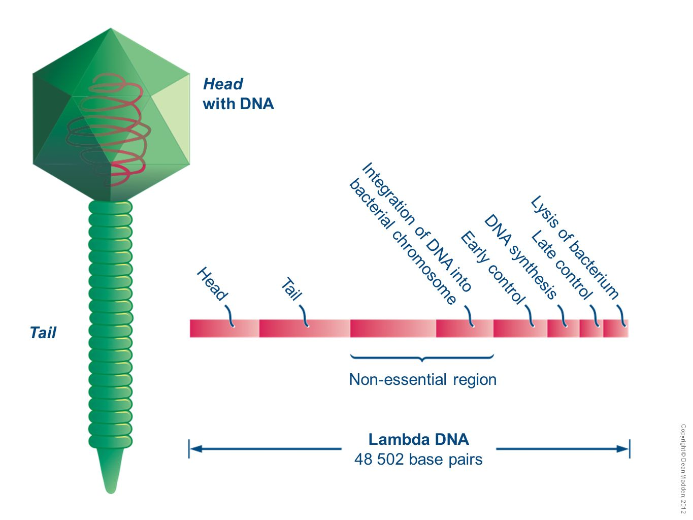 Copyright © Dean Madden, 2012 Head with DNA Tail Lambda DNA 48 502 base pairs Non-essential region HeadTail Integration of DNA into bacterial chromoso