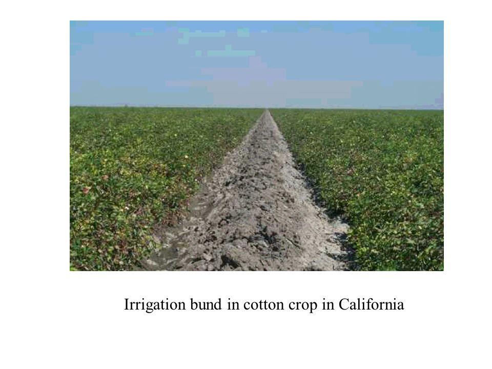 Irrigation bund in cotton crop in California