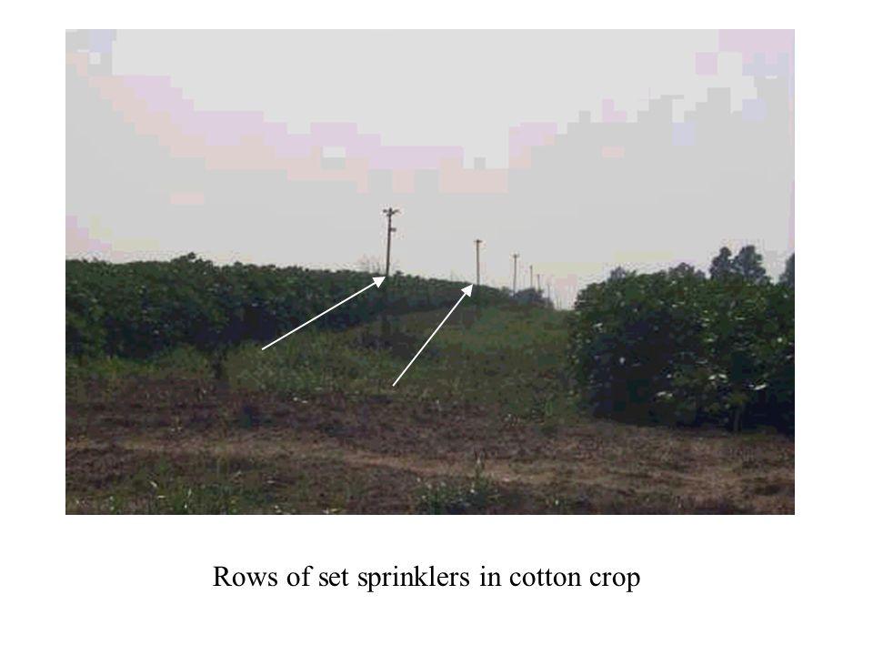 Rows of set sprinklers in cotton crop