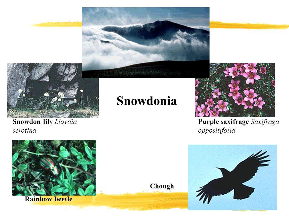 Purple saxifrage Saxifraga oppositifolia Snowdon lily Lloydia serotina Rainbow beetle Chough Snowdonia