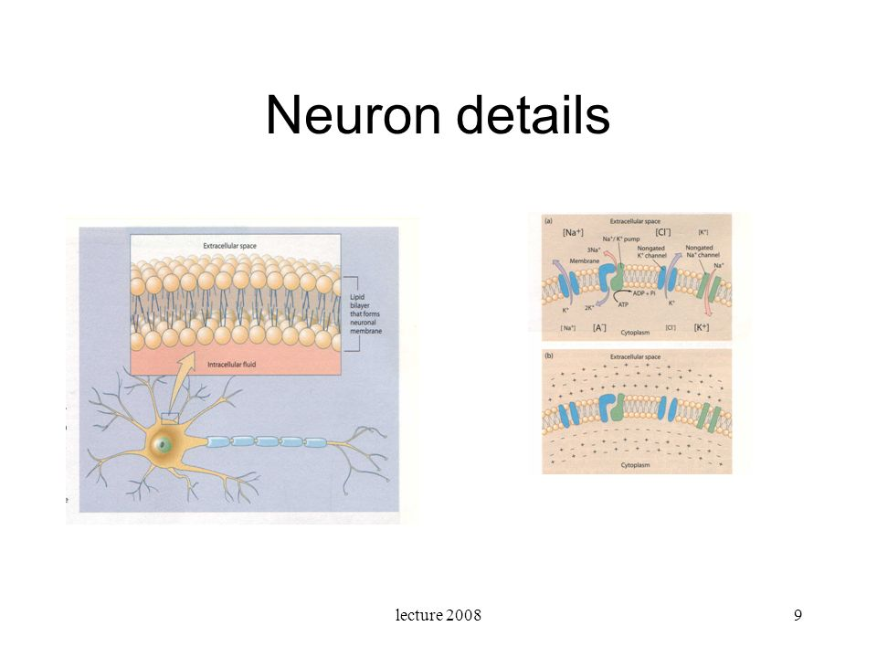 lecture 200810 Organisation of neurons