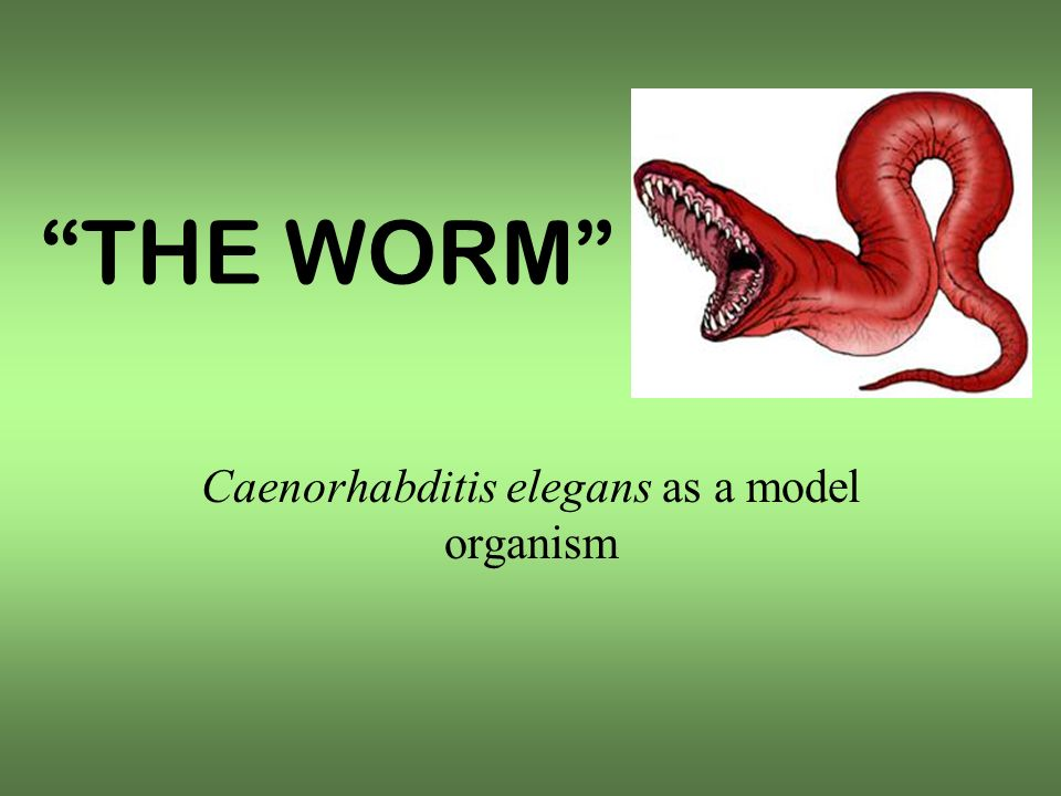 THE WORM Caenorhabditis elegans as a model organism