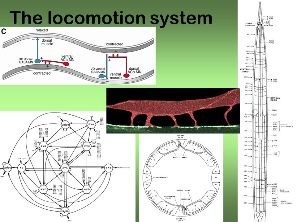 The locomotion system