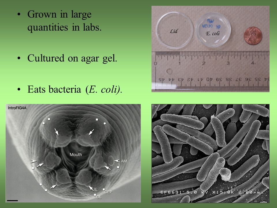 Grown in large quantities in labs. Cultured on agar gel. Eats bacteria (E. coli).