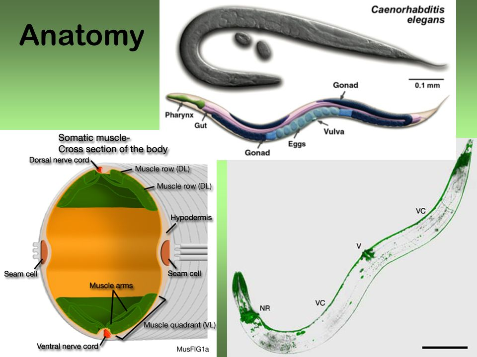 Gait adaptation Worm locomotion generally studied on agar.