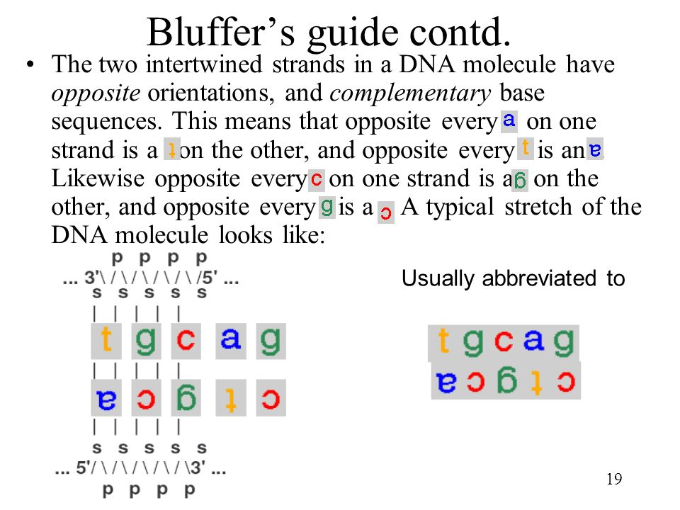 19 Bluffers guide contd. The two intertwined strands in a DNA molecule have opposite orientations, and complementary base sequences. This means that o
