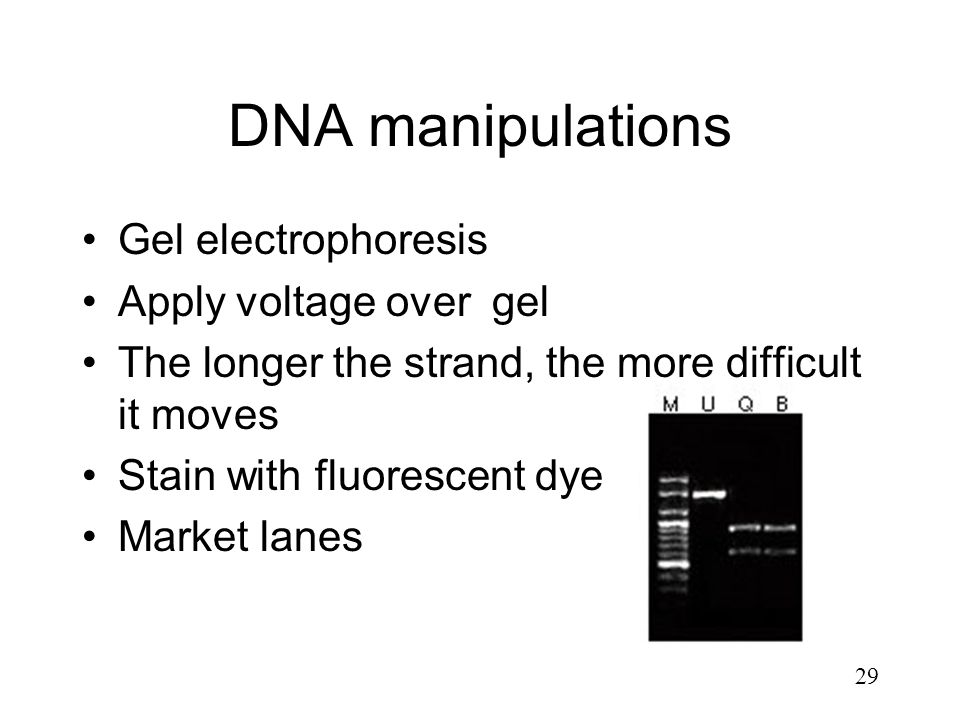 29 DNA manipulations Gel electrophoresis Apply voltage over gel The longer the strand, the more difficult it moves Stain with fluorescent dye Market l