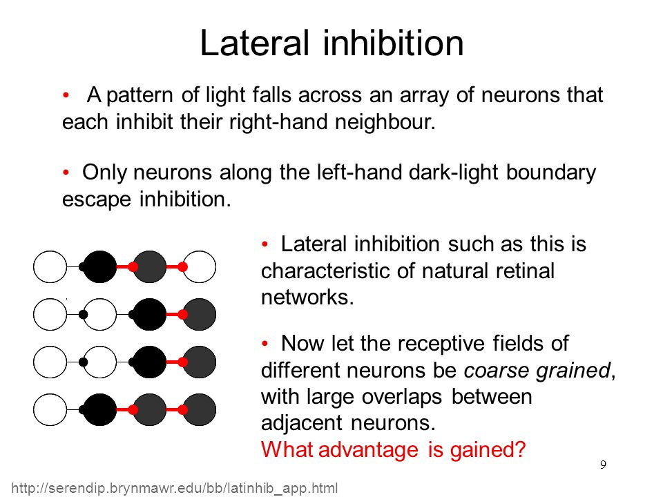 10 The networks still rely on one-way connectivity Lateral inhibition But there are no input, hidden and output layers.